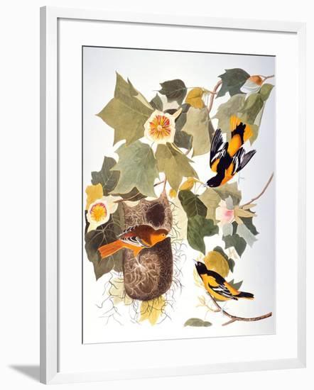 Audubon: Oriole-John James Audubon-Framed Premium Giclee Print