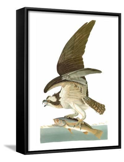 Audubon: Osprey-John James Audubon-Framed Art Print