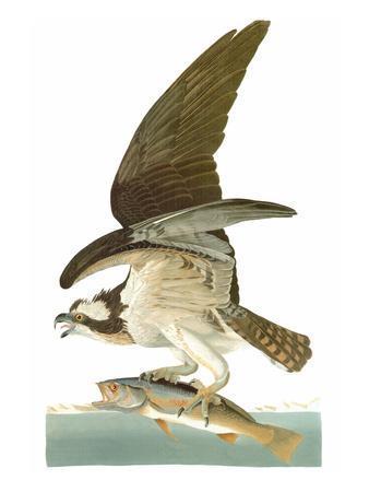 https://imgc.artprintimages.com/img/print/audubon-osprey_u-l-pfe8l10.jpg?p=0