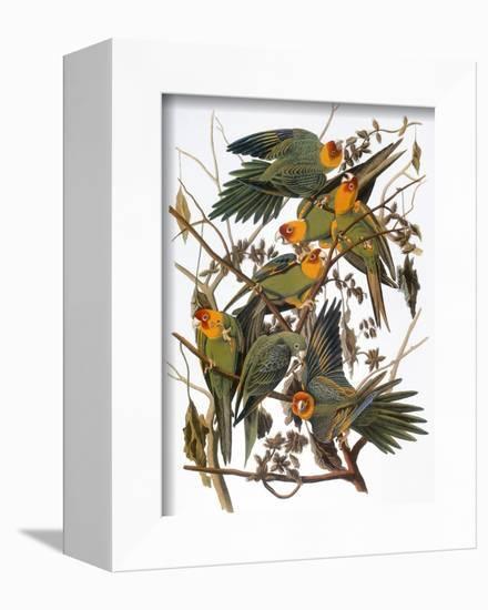 Audubon: Parakeet-John James Audubon-Framed Premier Image Canvas