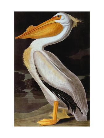 https://imgc.artprintimages.com/img/print/audubon-pelican_u-l-pfd4610.jpg?artPerspective=n
