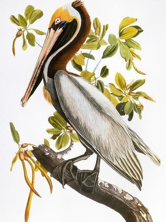 https://imgc.artprintimages.com/img/print/audubon-pelican_u-l-pfd48h0.jpg?artPerspective=n