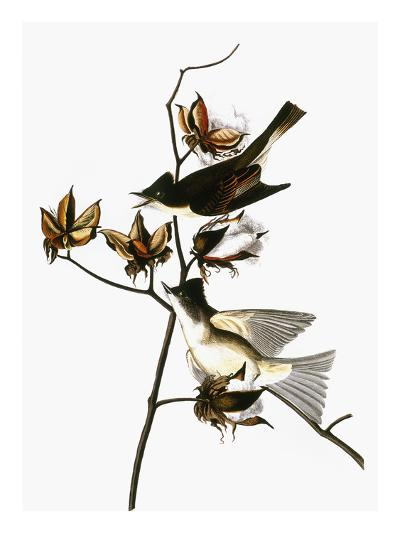 Audubon: Phoebe-John James Audubon-Giclee Print