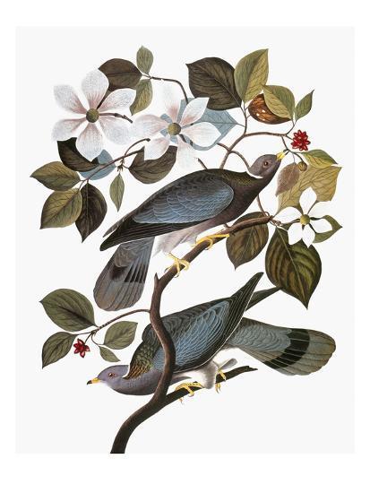 Audubon: Pigeon-John James Audubon-Premium Giclee Print