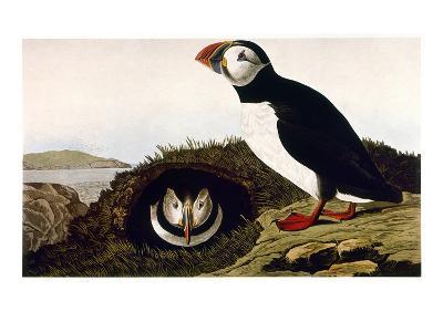Audubon: Puffin, 1827-38-John James Audubon-Giclee Print