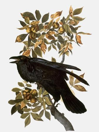 https://imgc.artprintimages.com/img/print/audubon-raven_u-l-pfc7360.jpg?artPerspective=n