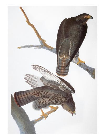 Audubon: Red-Tailed Hawk-John James Audubon-Giclee Print