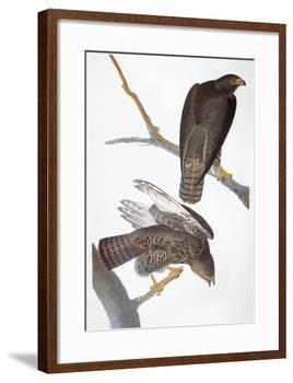 Audubon: Red-Tailed Hawk-John James Audubon-Framed Giclee Print