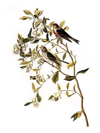 https://imgc.artprintimages.com/img/print/audubon-redpoll-1827_u-l-pfc5o20.jpg?artPerspective=n