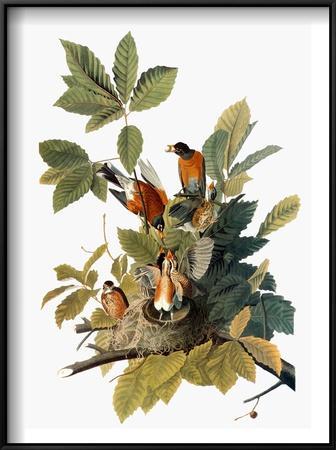 Audubon: Robin-John James Audubon-Framed Art Print