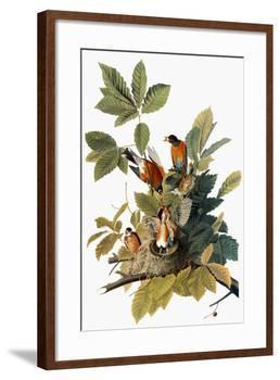 Audubon: Robin-John James Audubon-Framed Giclee Print