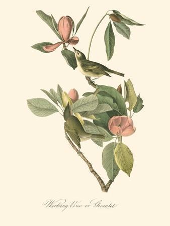 Audubon's Vireo-John James Audubon-Art Print