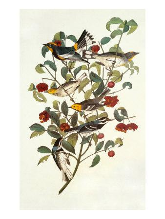https://imgc.artprintimages.com/img/print/audubon-s-warbler_u-l-p9d4xh0.jpg?p=0
