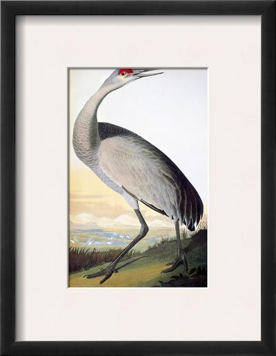 Audubon: Sandhill Crane-John James Audubon-Framed Giclee Print