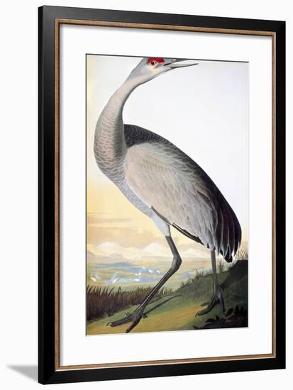 Audubon: Sandhill Crane-John James Audubon-Framed Premium Giclee Print