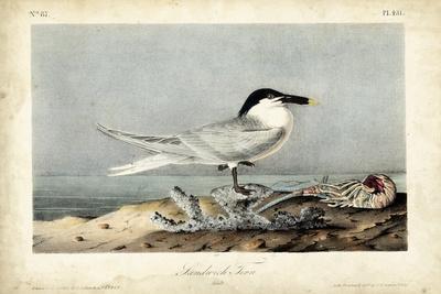 https://imgc.artprintimages.com/img/print/audubon-sandwich-tern_u-l-q1bgum40.jpg?p=0