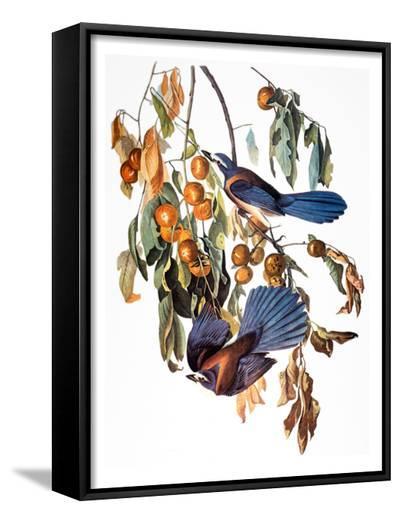 Audubon: Scrub Jay, 1827-38-John James Audubon-Framed Art Print