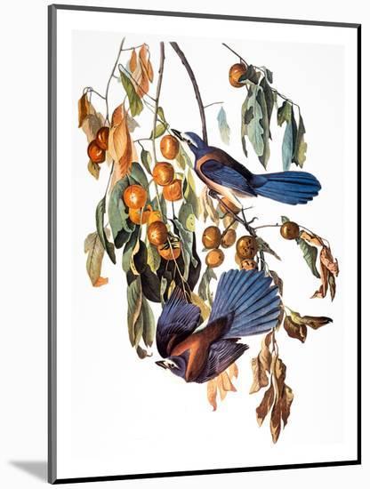 Audubon: Scrub Jay, 1827-38-John James Audubon-Mounted Premium Giclee Print