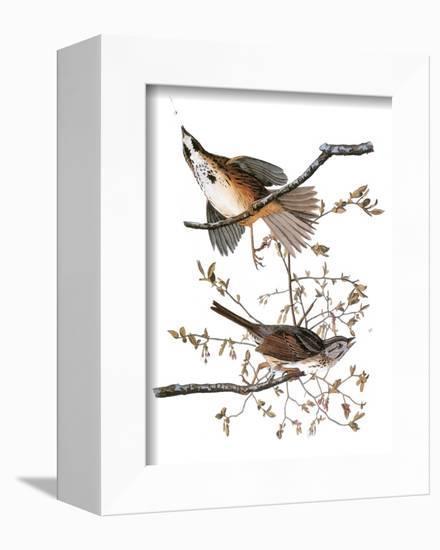 Audubon: Sparrow, 1827-38-John James Audubon-Framed Stretched Canvas Print