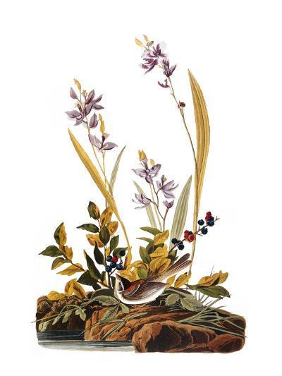 Audubon: Sparrow, 1827-38-John James Audubon-Giclee Print