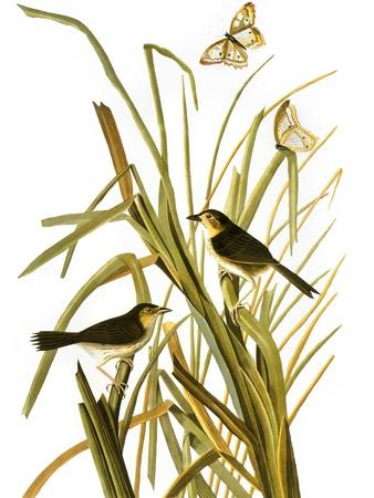 https://imgc.artprintimages.com/img/print/audubon-sparrow-1827_u-l-pfc5pc0.jpg?artPerspective=n