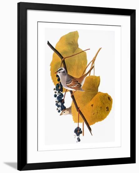 Audubon: Sparrow-John James Audubon-Framed Premium Giclee Print