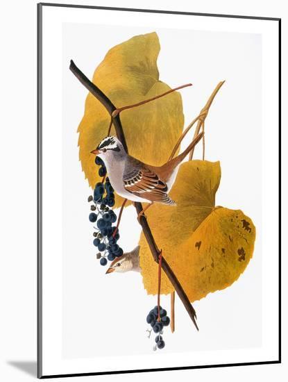 Audubon: Sparrow-John James Audubon-Mounted Giclee Print