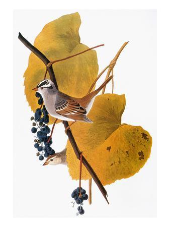 https://imgc.artprintimages.com/img/print/audubon-sparrow_u-l-pfd3bk0.jpg?artPerspective=n