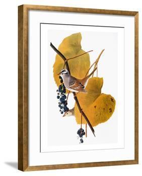 Audubon: Sparrow-John James Audubon-Framed Giclee Print