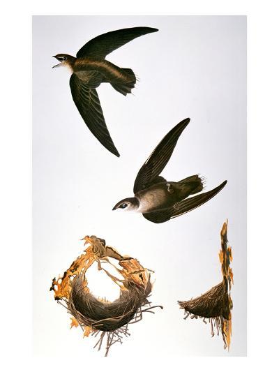 Audubon: Swift-John James Audubon-Giclee Print