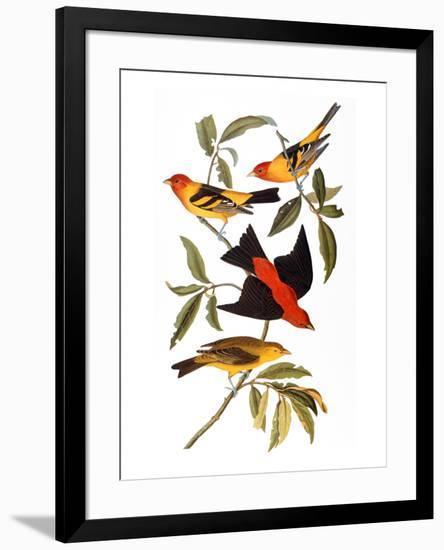 Audubon: Tanager, 1827-John James Audubon-Framed Premium Giclee Print