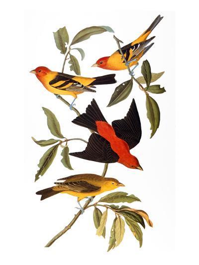 Audubon: Tanager, 1827-John James Audubon-Giclee Print