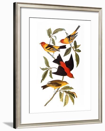 Audubon: Tanager, 1827-John James Audubon-Framed Giclee Print