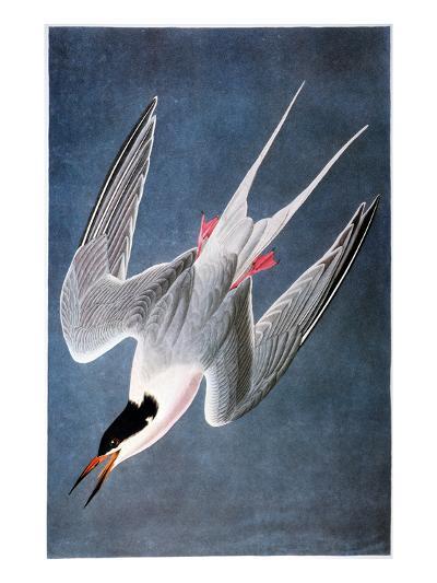 Audubon: Tern-John James Audubon-Giclee Print
