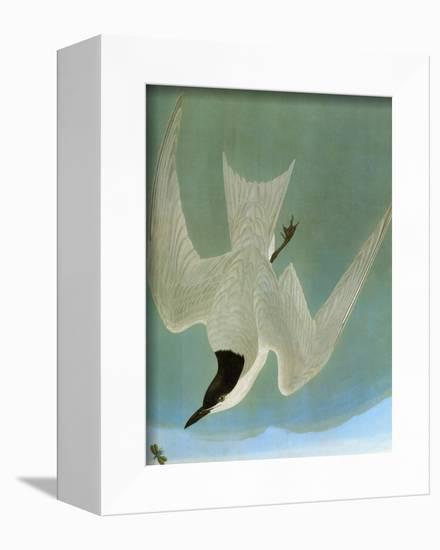 Audubon: Tern-John James Audubon-Framed Premier Image Canvas