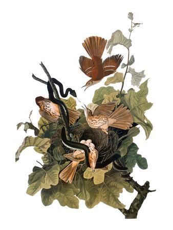 https://imgc.artprintimages.com/img/print/audubon-thrasher_u-l-pfd9he0.jpg?p=0