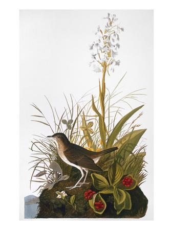 https://imgc.artprintimages.com/img/print/audubon-thrush_u-l-pfc8ne0.jpg?artPerspective=n