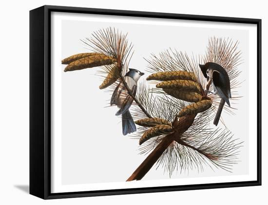 Audubon: Titmouse-John James Audubon-Framed Art Print