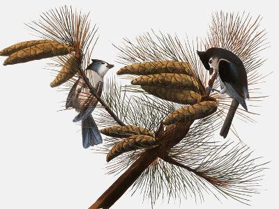 Audubon: Titmouse-John James Audubon-Giclee Print