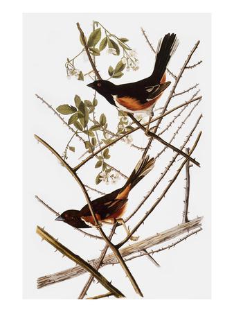https://imgc.artprintimages.com/img/print/audubon-towhee_u-l-pfc6sz0.jpg?artPerspective=n