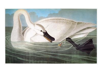 Audubon: Trumpeter Swan-John James Audubon-Giclee Print