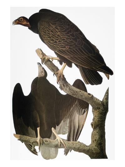 Audubon: Turkey Vulture-John James Audubon-Giclee Print