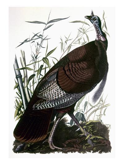 Audubon: Turkey-John James Audubon-Giclee Print
