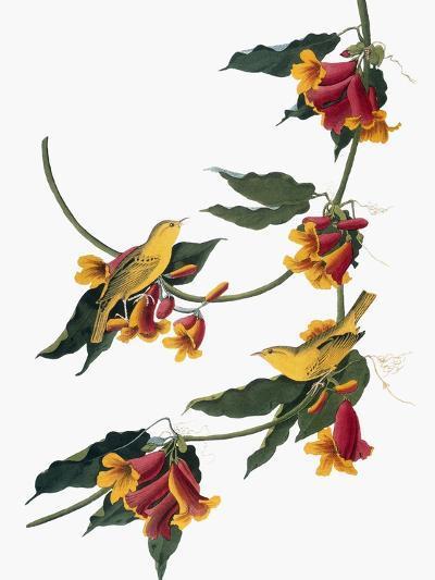 Audubon: Vireo, 1827-38-John James Audubon-Giclee Print