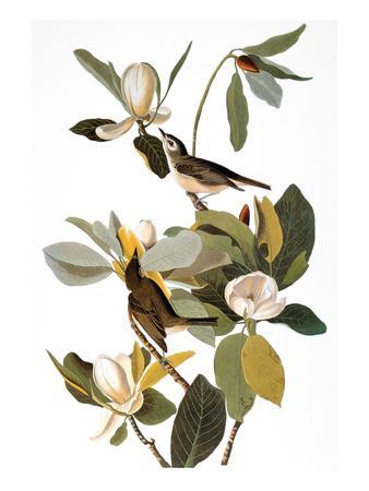 https://imgc.artprintimages.com/img/print/audubon-vireo_u-l-pfd35y0.jpg?artPerspective=n
