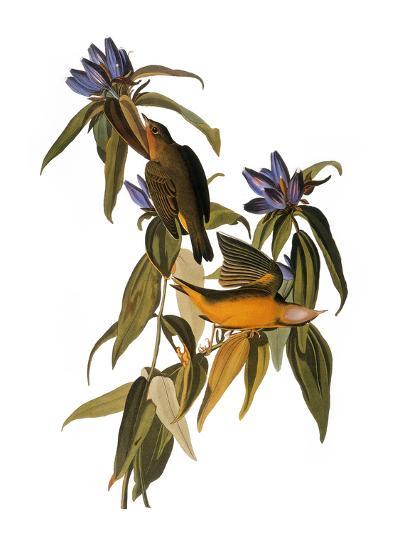 Audubon: Warbler, 1827-38-John James Audubon-Giclee Print