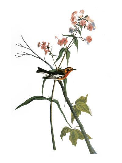 Audubon: Warbler, 1827-38-John James Audubon-Premium Giclee Print