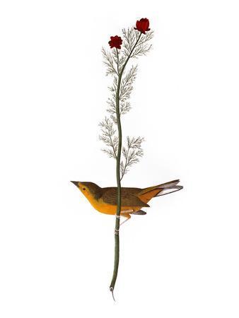 https://imgc.artprintimages.com/img/print/audubon-warbler-1827_u-l-pfc64p0.jpg?artPerspective=n