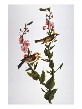 https://imgc.artprintimages.com/img/print/audubon-warbler_u-l-pfc6k10.jpg?artPerspective=n