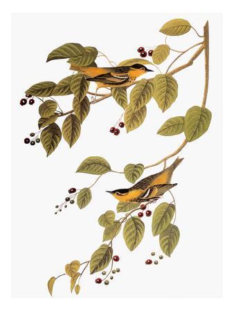 https://imgc.artprintimages.com/img/print/audubon-warbler_u-l-pfc7fy0.jpg?artPerspective=n